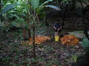 cacao_tree_18