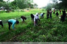 Semangat Menanan Mangrove, Anggota Komunitas Mangrove Bengkulu melakukan penanaman 2000 bibit mangrove.