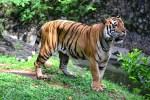 Jumlah Harimau di Dunia Belum Diketahui Secara Pasti
