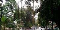 Pohon Beringin di Jalan Antara Perlu Penataan