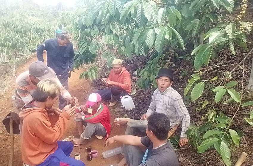 Pemanen Kopi Lampung Barat Banyak Diambil Dari Pringsewu