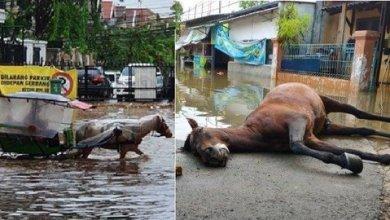 Photo of Kuda mati keletihan selamatkan mangsa banjir di Jakarta