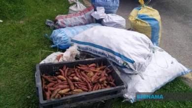 Photo of Guru bantu Orang Asli jual 500kg ubi keledek
