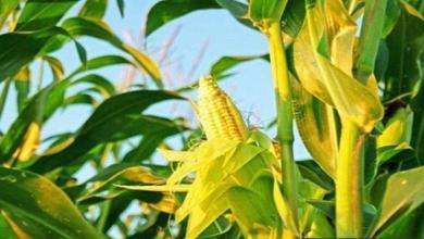 Photo of Lebih 200 anak muda PPK Nilam Puri akan tanam jagung susu