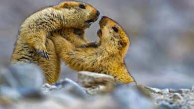 Photo of Bimbang wabak bubonik selepas dua maut makan marmot di China