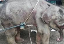 Photo of Anak gajah terjatuh ke dalam Sungai Endau berjaya diselamatkan