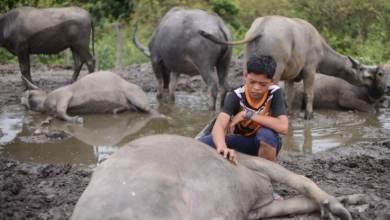 Photo of Mampukah antibiotik selamatkan baki 58 ekor lagi kerbau Syukur