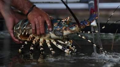 Photo of Respon KIARA Terhadap Persaingan Tidak Sehat Bisnis Lobster