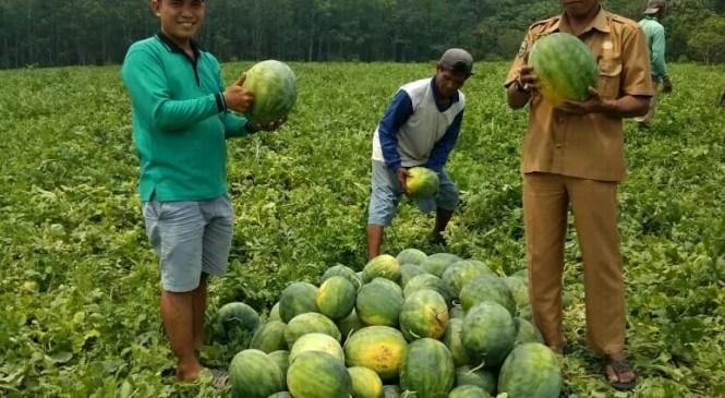 BUMDes Jaya Bersama Panen Semangka