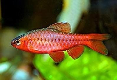 Ikan Cherry Barb