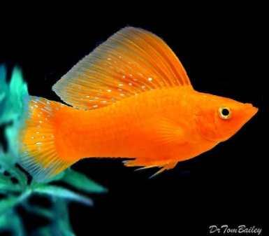 Ikan Molly Golden Sailfin