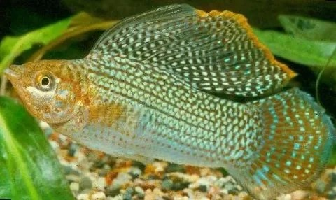 Ikan Wild Sailfin Molly