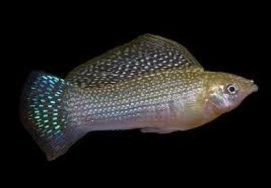 Ikan Wild Yucatan molly
