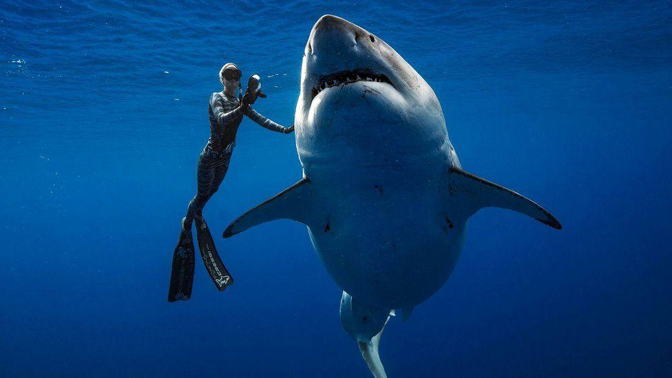 ikan great white shark