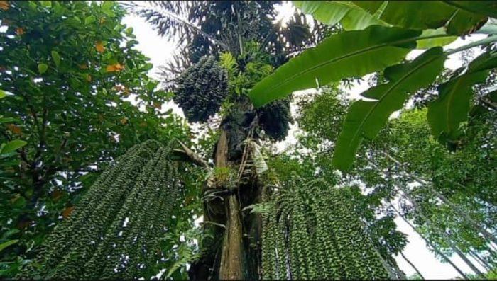 BANYAK Pohon Aren yang Potensial di Dusun Riam Pinang