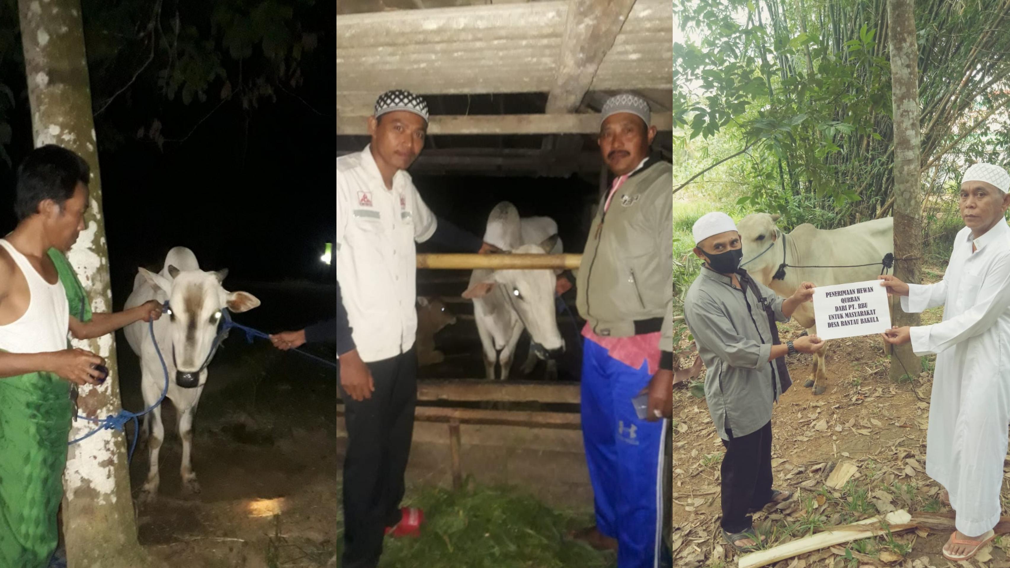 PT RBU GROUP Serahkan Bantuan 3 Ekor Sapi Qurban untuk Warga Sekitar Tambang