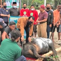 PKB TEBAR Puluhan Ekor Hewan Kurban di Kalsel