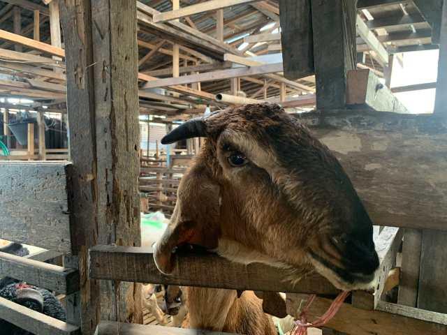 PPKM DARURAT di Pulau Jawa Bikin Harga Sapi Tambah Mahal (1)