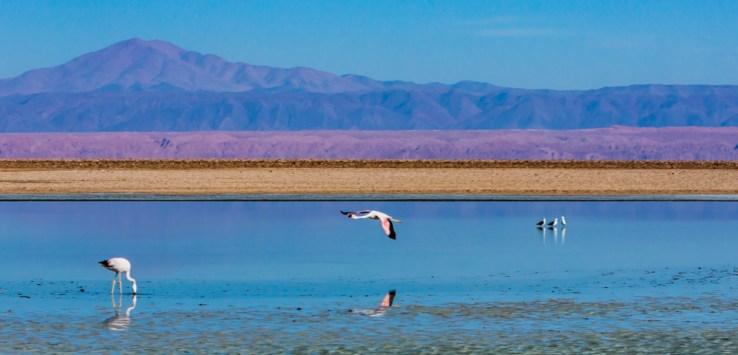 Flamingos se alimentando na Laguna Chaxa uma das Lagunas do Atacama