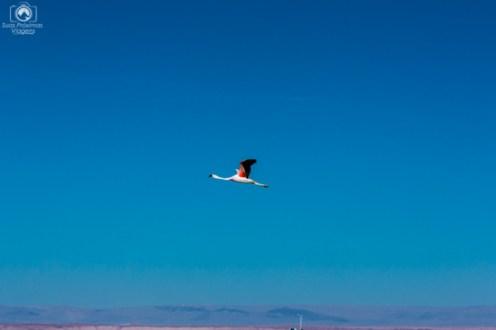 Flamingos sobrevoando Laguna Chaxa umas das Lagunas do Atacama