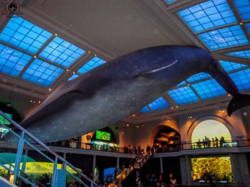 Baleia Azul no Museu de História Natural em o que fazer em Nova York