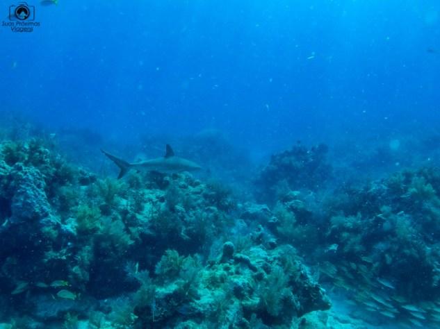 Tubarão no Mergulho nos Florida Keys