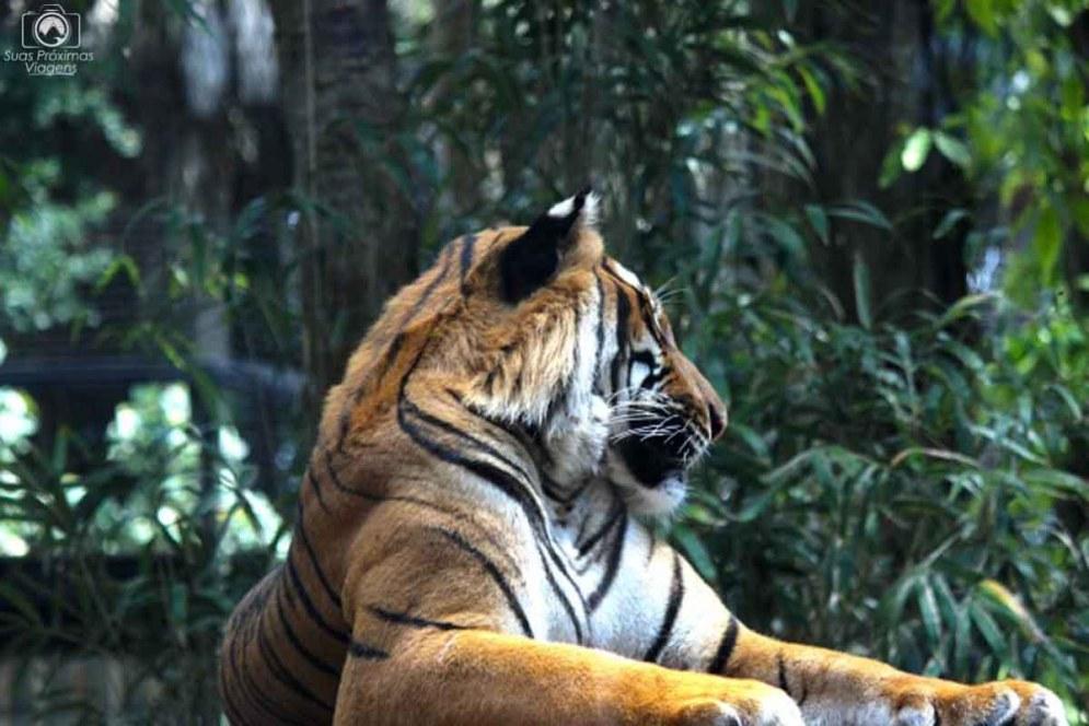 Tigre Siberiano no Zoo de Naples