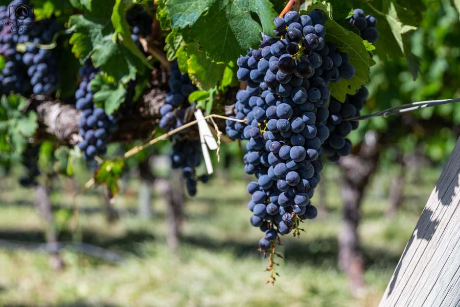 Foto de um cacho da uva malbec em O que fazer em Mendoza