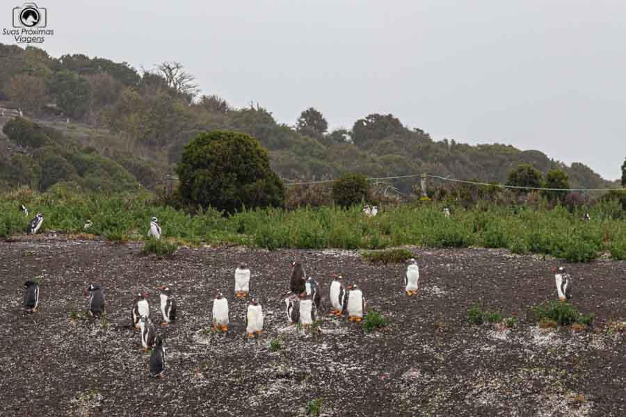 imagem dos pinguins ja no final do verão na Isla Martillo