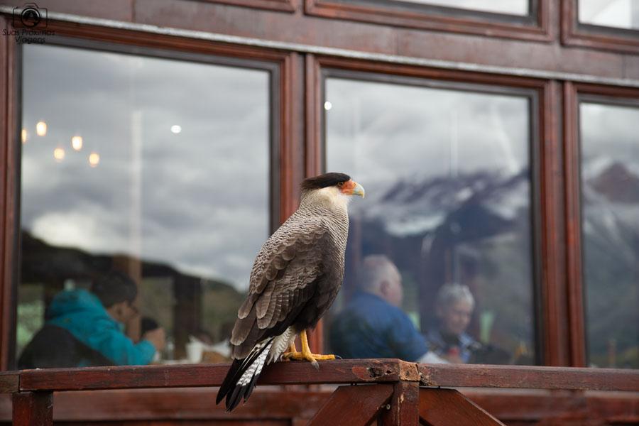 Imagem do Gavião no parque nacional Torres del Paine