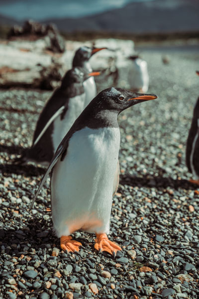 Imagem do pinguim na Illa Martillo