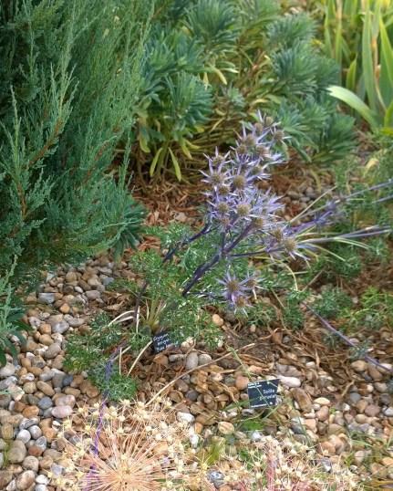 Hyde Hall RHS, Eryngium bougatii 'Picus Amethyst'