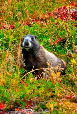 A marmot - probably having lunch