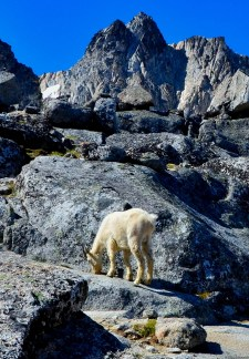 Mountain goat - welcome to upper Enchantments