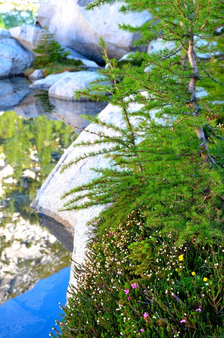 Wild flowers, larches and granite beside Inspiration