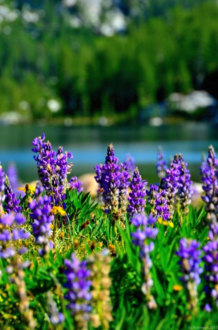 Lupines with Perfection at backdrop