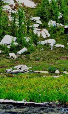 Mountain goats grazing in lower Enchantments