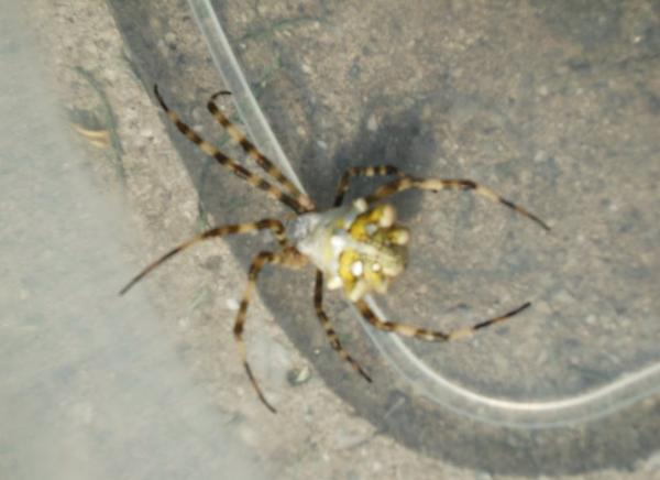 Qu tipos de araas son  Pgina 29