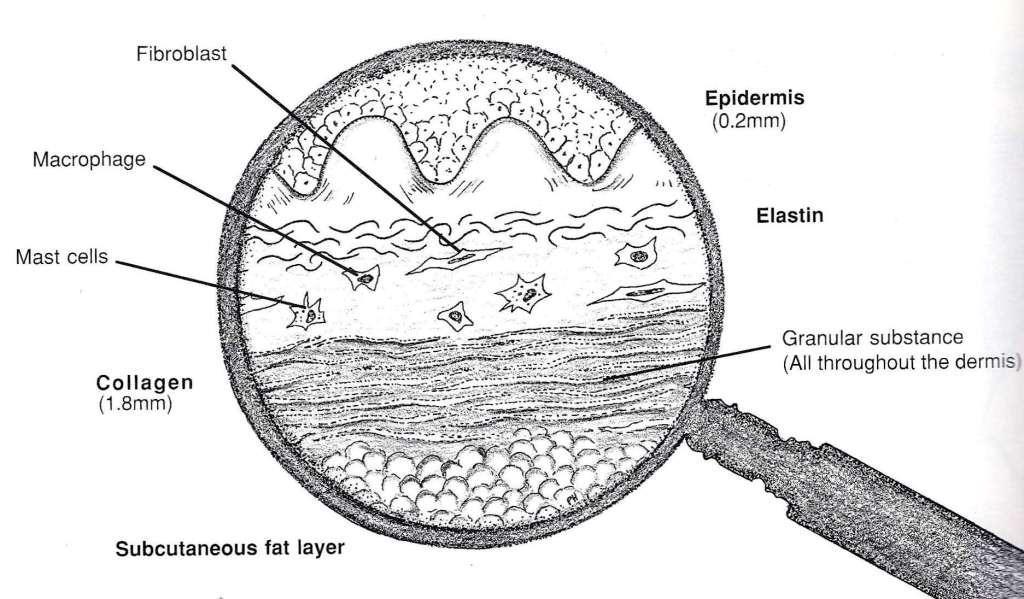 Exciting and Revolutionary! Fibroblast Serum Makes its