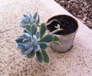etiolation succulents