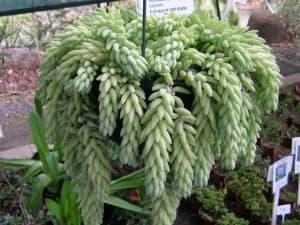 sedum morganianum