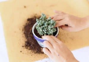 howtorepotsucculents