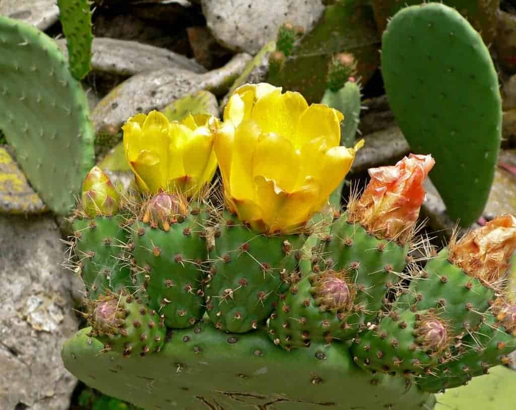 How to Care for Prickly Pear (Opuntia Cacti)