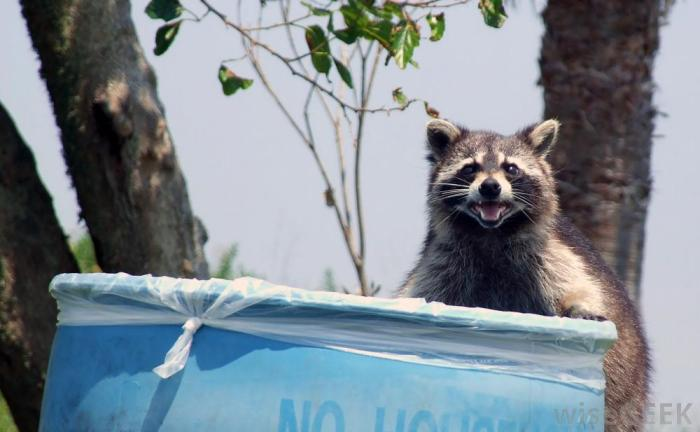 raccoon-on-the-edge-of-a-trash-can