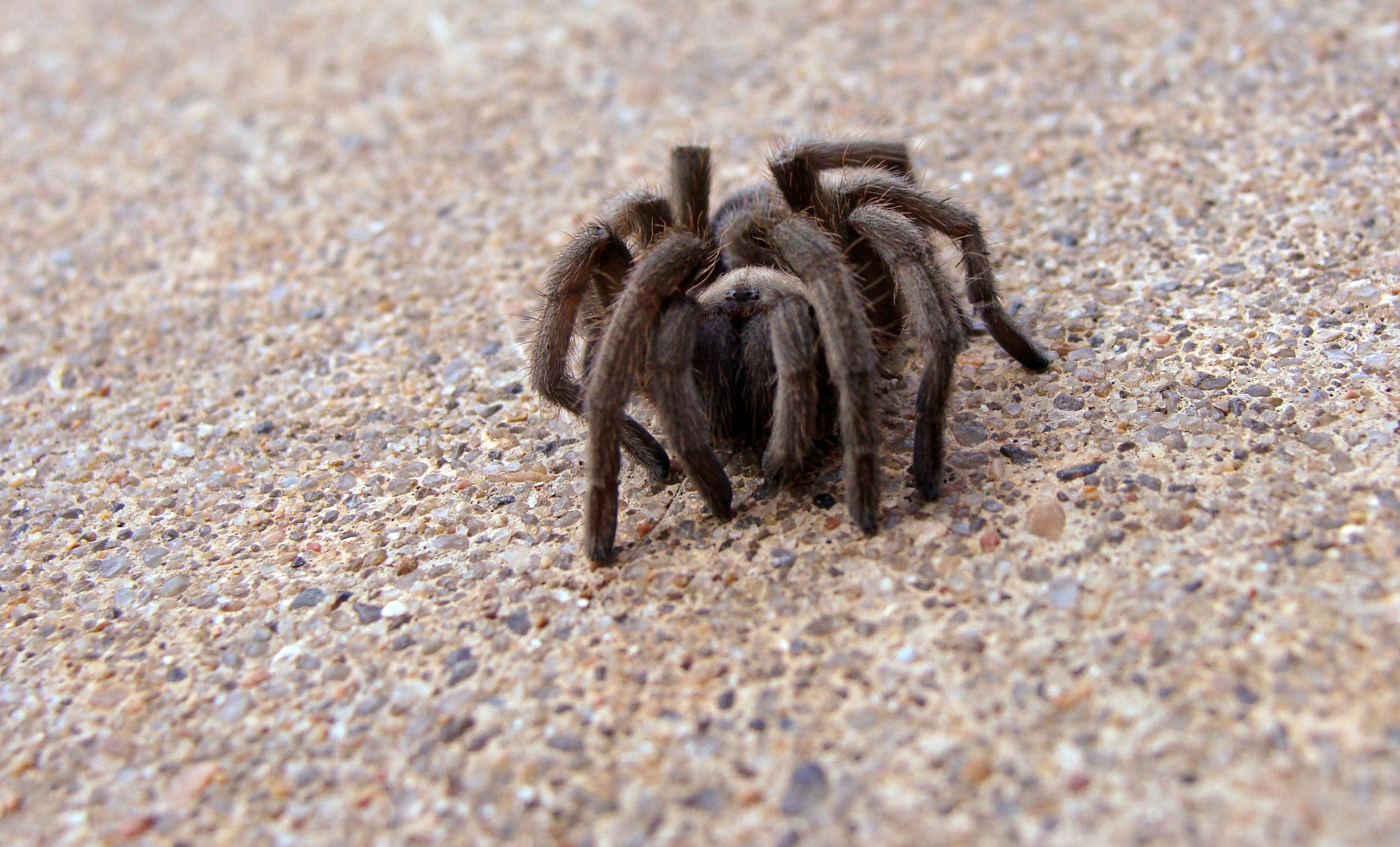 tarantula  The UrbanWildlife Interface