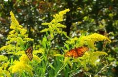 10-21 Four Butterflies