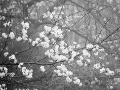 Blossoms float against a fog softened mass of branches.