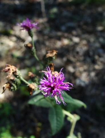 pruple wildflower