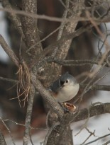 Nuthatch in tree with open hickory nut.