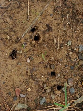 cicada holes
